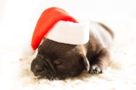 puppy sleeping on bed with a santa hat on