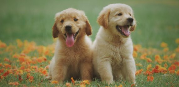 2 golden pups