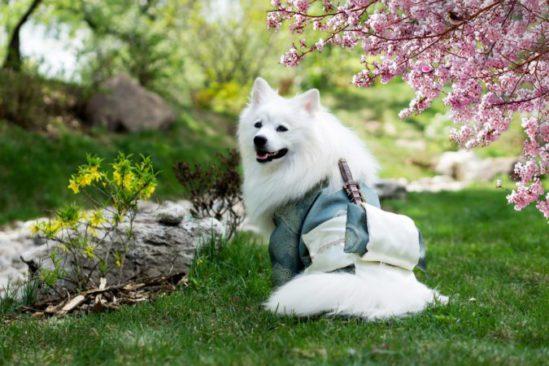 dog dressed up as a samurai