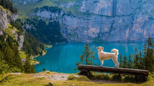 pup looking at lake