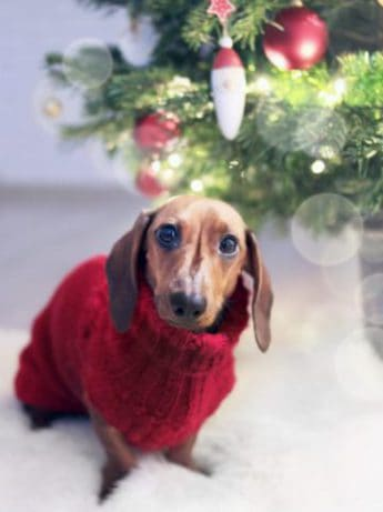 dog dressed with sweater