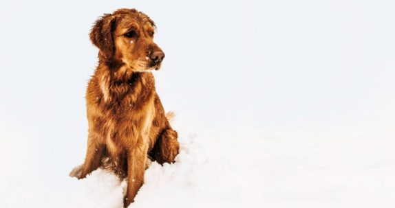 Golden in snow