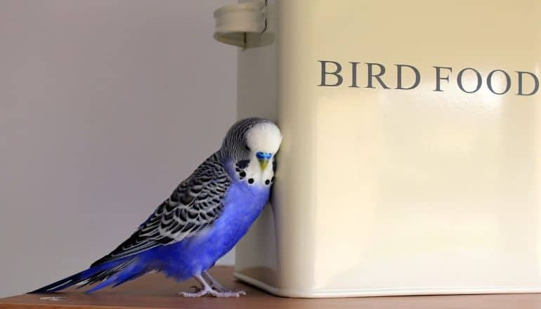 blue parrot next to a food box