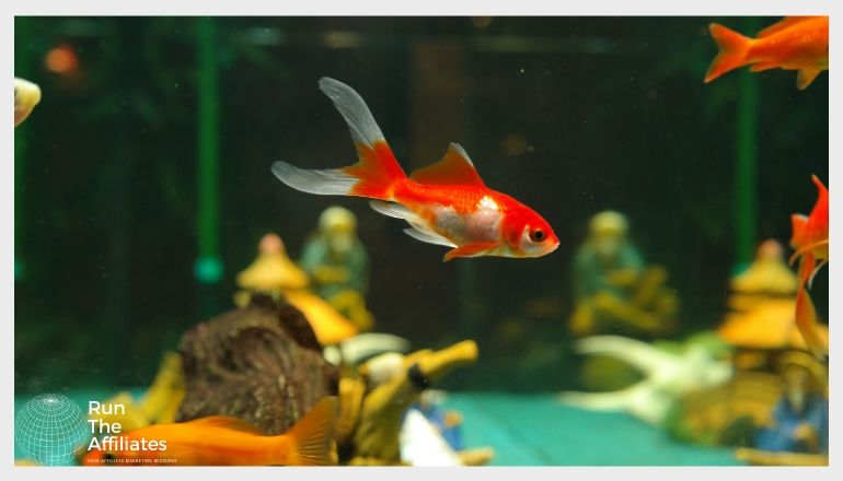 red and white fish swimming in an aquarium