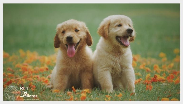 2 golden retriever pups sitting in a grassy field