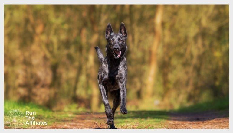 black dog running towards the camera